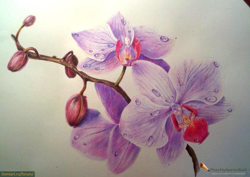 Орхидеи. Урок цв.карандашами + капельки