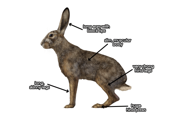 How To Draw A Bunny Profile
